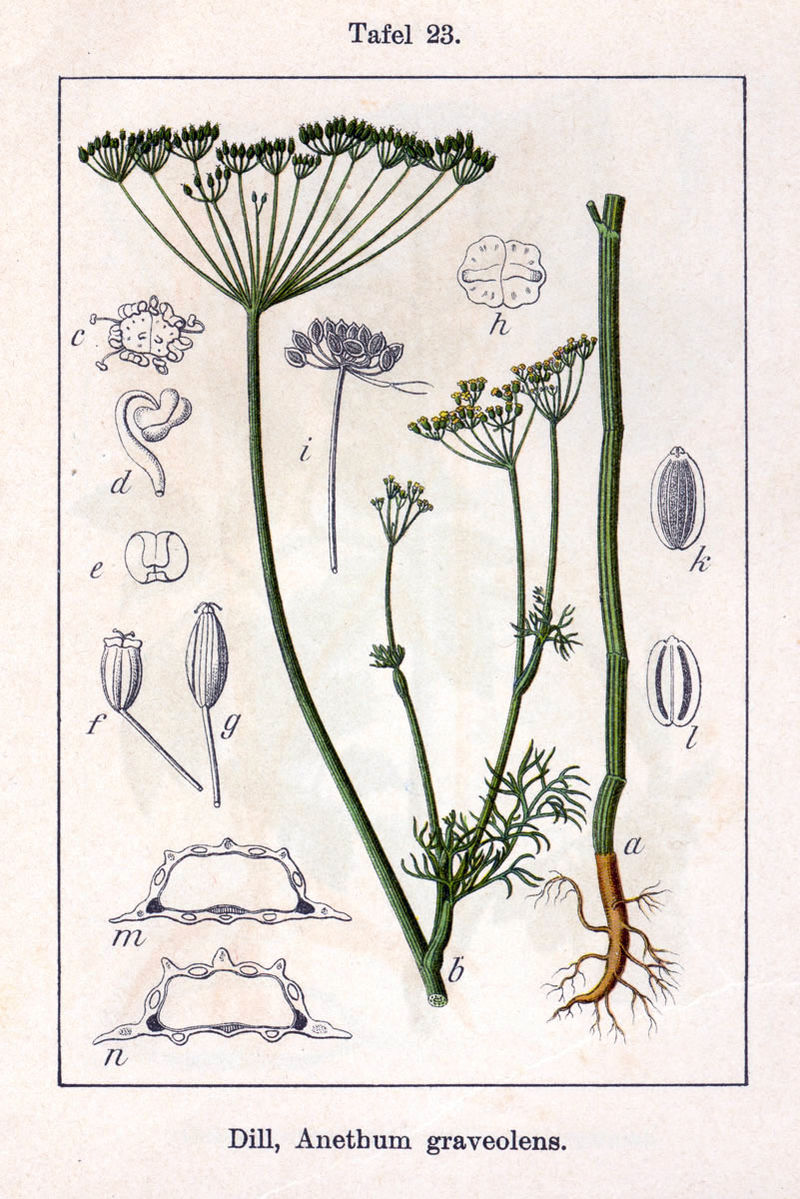 Image of Dill oil, USA