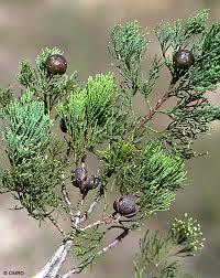 Image of Cypress oil, Blue (WC), Australia