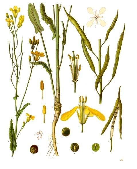 Image of Elemi oil, Philippines