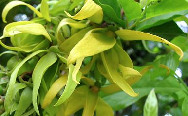 Image of Ylang Ylang I oil, China, (very floral)