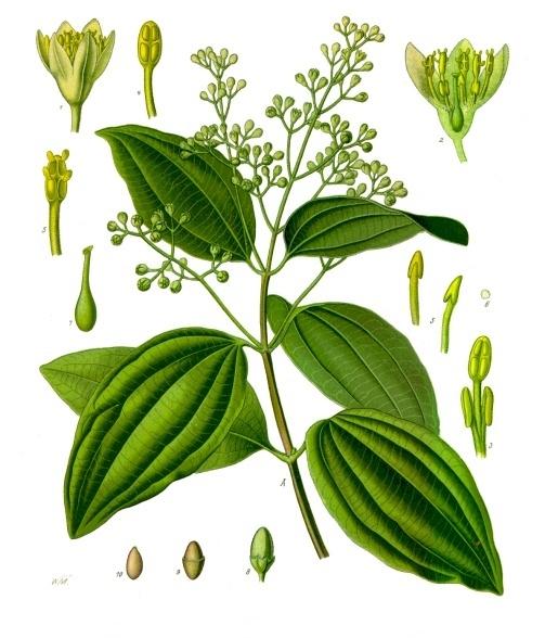 Image of Cinnamon Bark oil, Indonesia