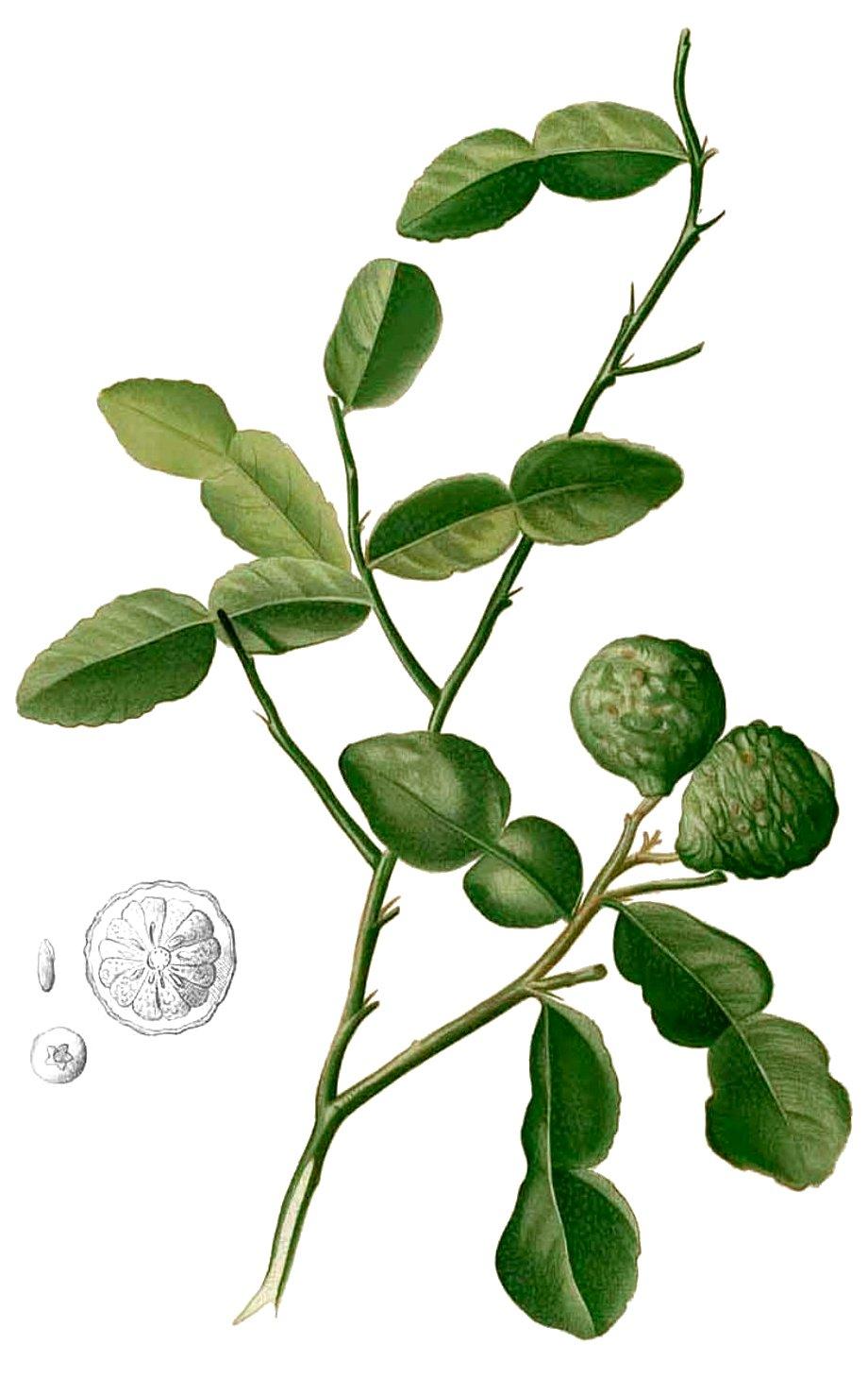 Image of Combava Petitgrain oil, (Kaffir Lime), Wild, Madagascar