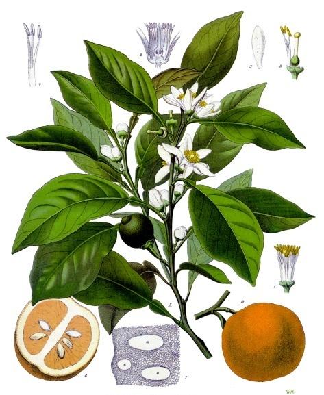 Image of Orange oil, Sweet, (High Aldehyde), Portugal