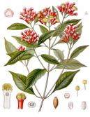 Image of Clove Bud CO2 Select, India