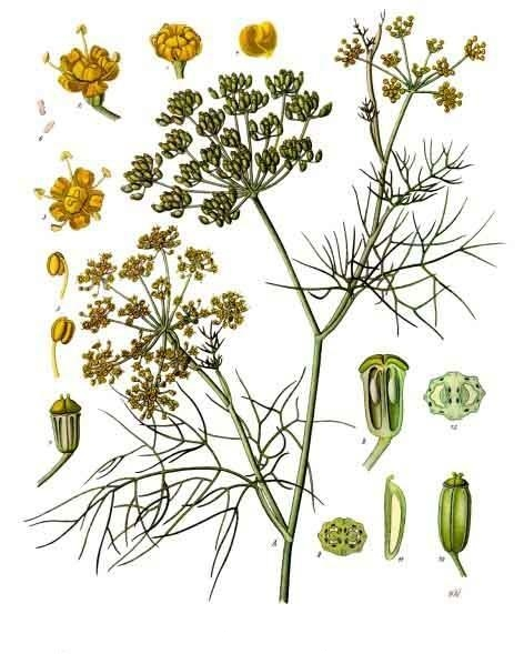Image of Fennel oil, Bitter, USA