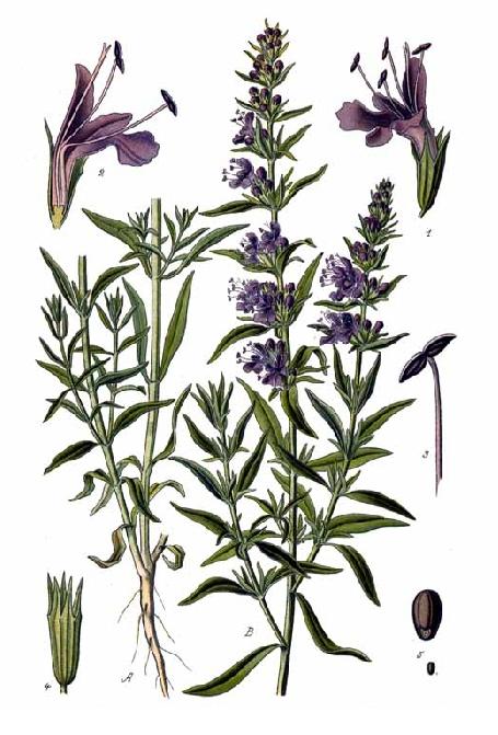 Image of Hyssop oil, Bulgaria