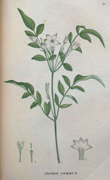 Image of Jasmine Grandiflorum Absolute, India