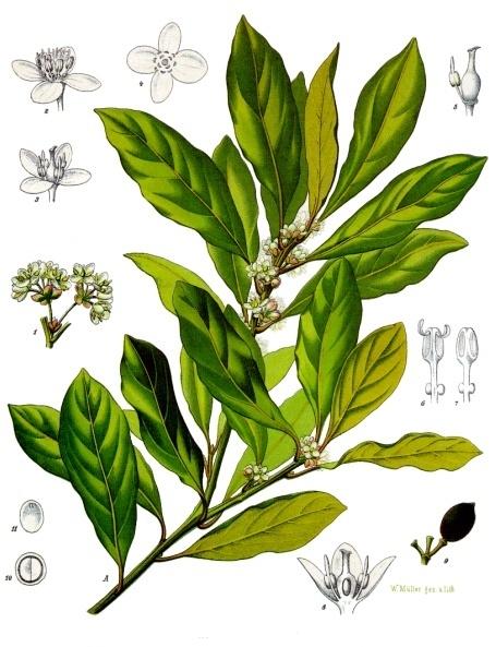 Image of Laurel Leaf oil, (Bay Laurel), Crete