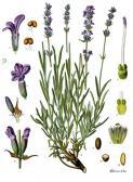 Image of Lavender oil, 40/42, E. Europe