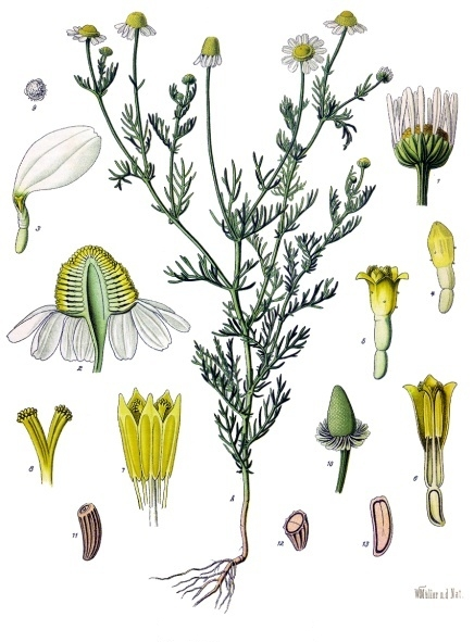Image of Chamomile, German CO2 Total, Germany