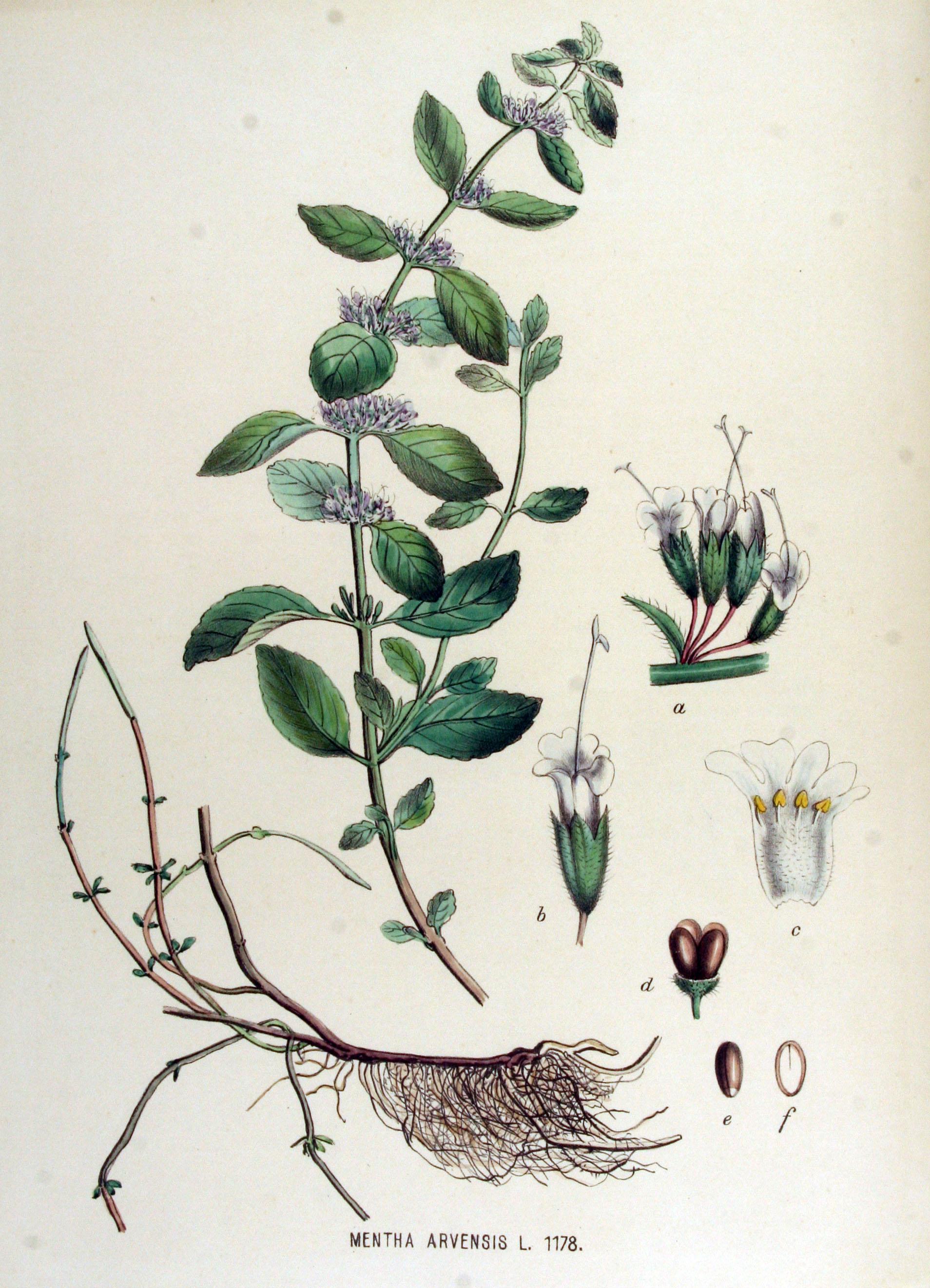 Image of Cornmint oil, India
