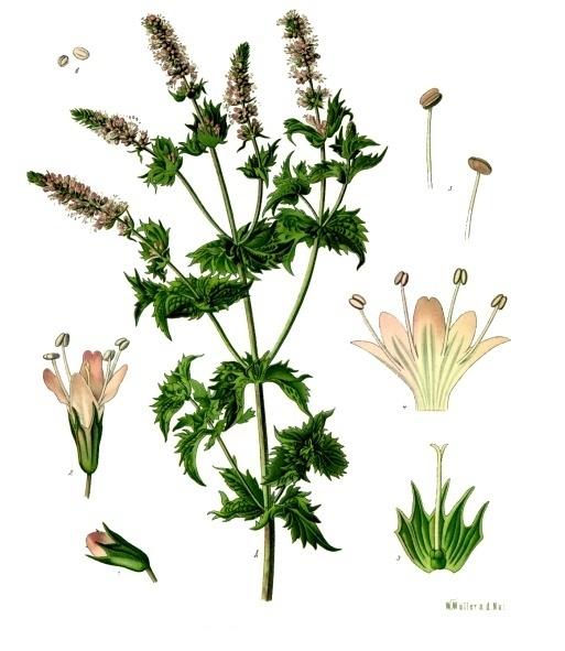 Image of Spearmint oil, USA (60-70% Carvone)