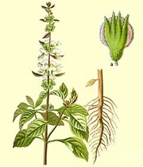 Image of Basil oil, ct. methyl chavicol,  USA