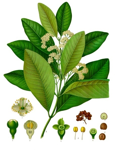Image of Allspice oil, (Pimenta Berry), Jamaica