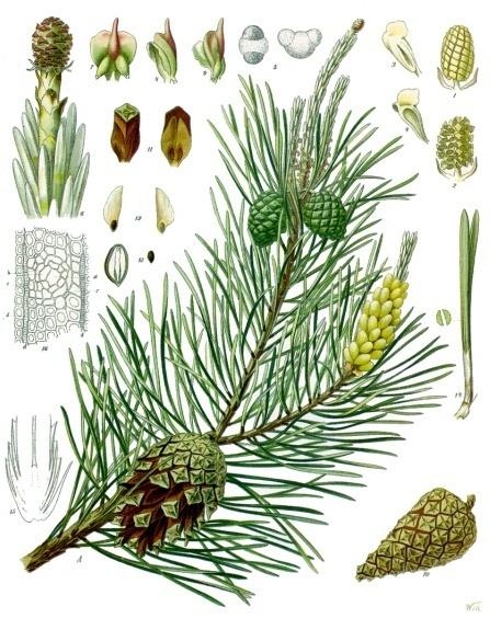 Image of Pine Needle oil, Bulgaria