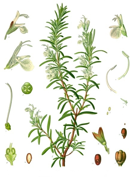 Image of Rosemary oil, ct. camphor, Spain