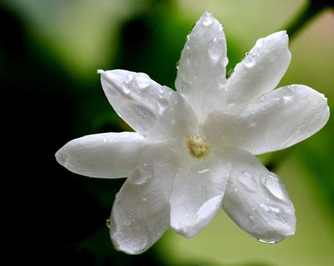 Image of Jasmine Fragrance