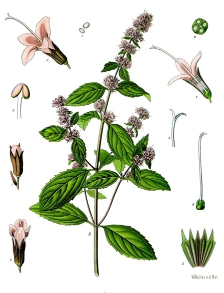 Image of Peppermint oil, Premium, USA
