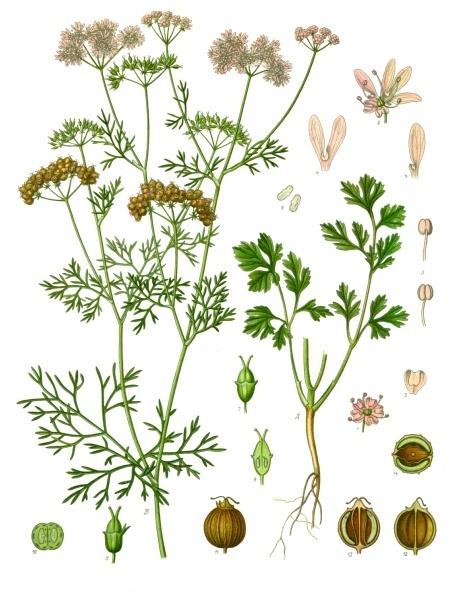 Image of Cilantro oil, USA