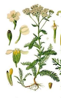Image of Yarrow oil, Green, USA