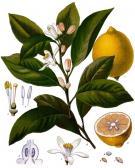 Image of Petitgrain Oil (Lemon Leaf)
