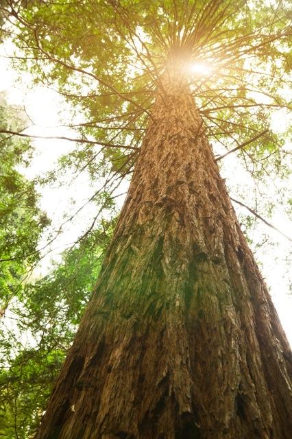 Image of Giant Arborvitae (Tree of Life)