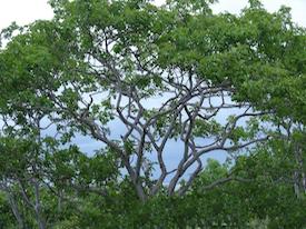Image of Palo Santo Essential Oil (Wood)