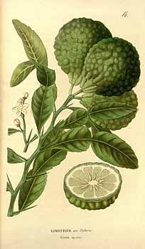Image of Combava Petitgrain oil, (Kaffir Lime), Indonesia