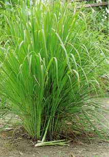 Image of Camel Grass (West Indian Lemongrass) Oil, ct. Piperitone, India